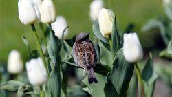 Tulipe_photo_jc_marmara_le_figaro